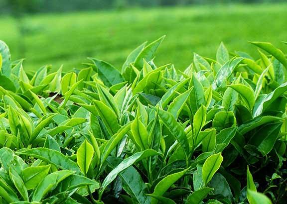 Bật mí cách trị mụn từ trà xanh an toàn, hiệu quả không gây mỏng da